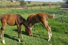 hevershamfoals1
