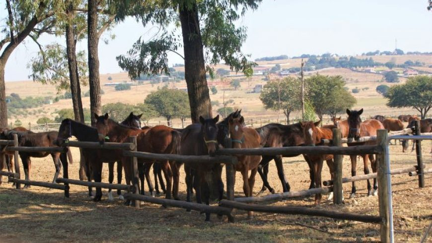 Yearlings in new paddock